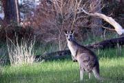 Московские ветеринары заменили скакательный сустав гибнущему кенгуру