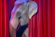 Правительство Дании намерено выкупить у цирков пожилых слонов