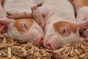 Как новые технологии помогли китайским фермерам в борьбе со «свиным террором» мафии