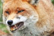 В Крыму и Севастополе отмечен всплеск заболеваемости животных бешенством