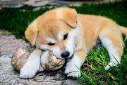 Японские собаководы пообещали подарить Загитовой щенка акита-ину