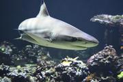 Видео, как смельчаки плавают рядом с акулой, стало хитом в сети