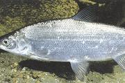 В Сибири разводят гибридную рыбу