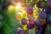 В России появится федеральное агентство по виноделию?