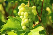 Обычный виноград способен помочь в борьбе с раком легких