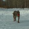 В Челябинск привезли собаку, которая чуть не растерзала бывшую хозяйку