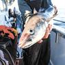 Наши рыбаки-минтайщики удивили американский Бостон