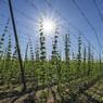 Посевы конопли выросли в 4 раза