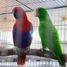 Узбекистан захватил российский рынок попугаев