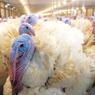 «Евродон» призвёл 500 тыс. тонн мяса индейки и утки
