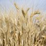Российская пшеница потеснила французскую