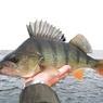В Чудско-Псковском озере растут уловы леща и окуня