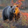 Минприроды занизило цены на медведей, лосей и барсуков
