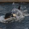 Оставшихся в «китовой тюрьме» животных отправят в Хабаровский край до осени
