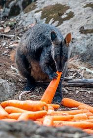 В Австралии с вертолетов сбрасывают овощи для спасения погибающих животных