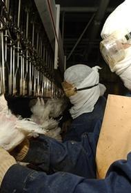 В китайской провинции Хунань произошла вспышка птичьего гриппа