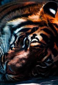 Приамурье: амурский тигр был убит браконьерами
