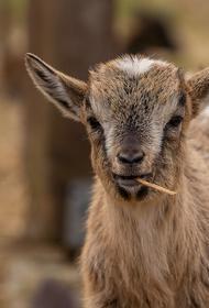 Российским фермерам посоветовали переходить на козлятину