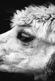 День всех влюбленных отметили в Пензе свадьбой альпака