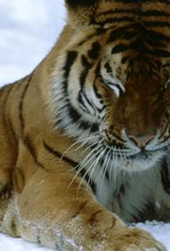 В Приморье автобус  сбил амурского тигра