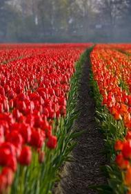 В Нидерландах уничтожают тюльпаны из-за COVID-19