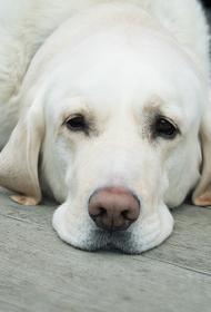Кинолог предположил, что собаки смогут выявлять больных коронавирусом
