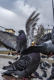 Ученые предупреждают власти: нужно учитывать риск распространения коронавируса через голубей