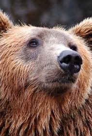 Наро-Фоминск: медведь приблизился к поселению на опасное расстояние