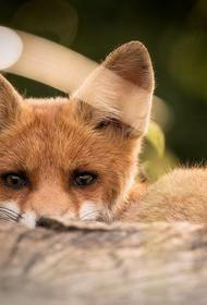 В Приамурье лиса заразила бешенством целую семью