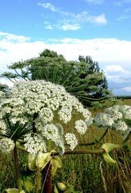 Борщевик Сосновского – реальная угроза сельскому хозяйству