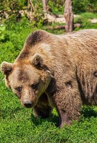 Откуда в Подмосковье медведи, рассказал эколог