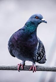 В Индии освободили из-под ареста голубя-шпиона
