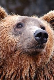 Камчатка: медведь напал на двух велосипедистов