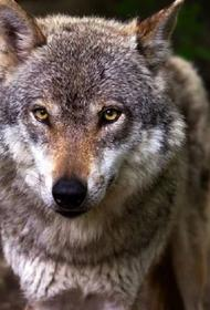 В Костромской области волчица из фермерского зоопарка укусила 6-летнюю девочку