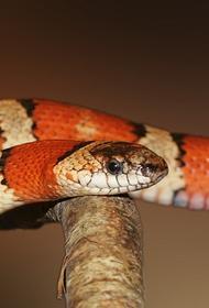 Почему нельзя высасывать яд из раны при укусе змеи