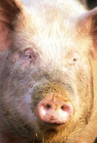 В Нижегородской области выявлен очаг африканской чумы свиней