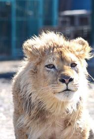 Генпрокуратура проверит факты жестокого обращения с львенком Симбой