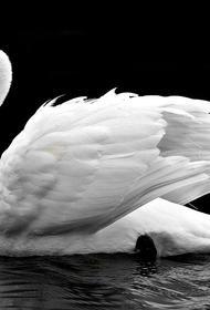 Московская полиция проверит сообщение об отравлении лебедя на Патриарших прудах