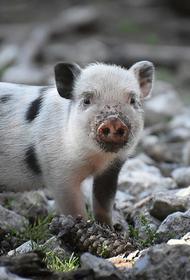 В Индии свиньи гуляли по больнице для больных коронавирусом