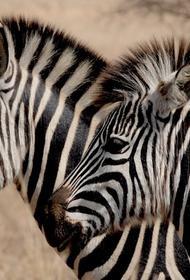 В сети обсуждают оптическую иллюзию с зебрами