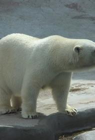 Ученые назвали дату, когда белые медведи могут исчезнуть из-за глобального потепления