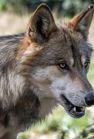 Бешеная волчица напала на двух жительниц в Подмосковье