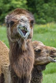 Дикие верблюды терроризируют села под Астраханью: «Сметают всё на своем пути»