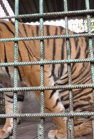 Для спасенного тигра из приюта Карена Даллакяна хотят построить бассейн