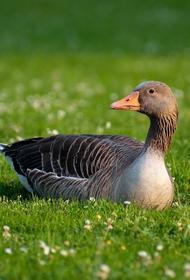 Очаг птичьего гриппа выявлен в Челябинской области