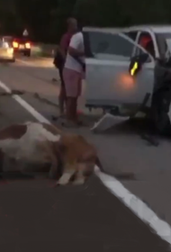 Иномарка насмерть сбила быка в Сочи