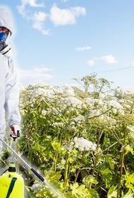 Борьба с борщевиком: помогут насекомые?