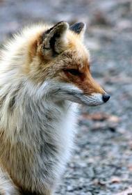 В Сергиевом Посаде лисица забежала в многоквартиный дом