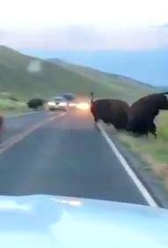 Бизон протаранил другого бизона прямо на трассе