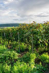 Кто мешает вырастить виноград в Тульской области
